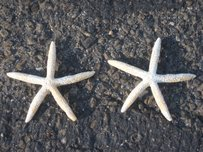 100 White Finger Starfish Starfish 4.5